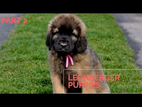 Cute leonberger puppies #dog #animal #leonberger #beautifulpuppies