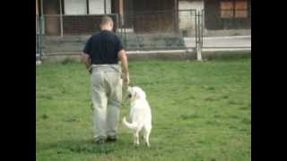 Ivan Jelavic Dog Training - Bili (a Young Retriever) Practising Obedience Skills
