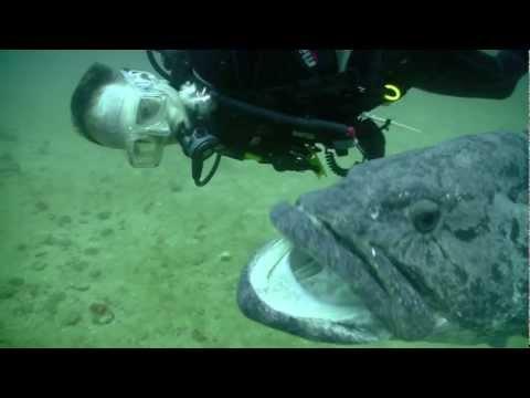 Diving with the Potato Grouper (Praia de Tofo, Mozambique), w/o music