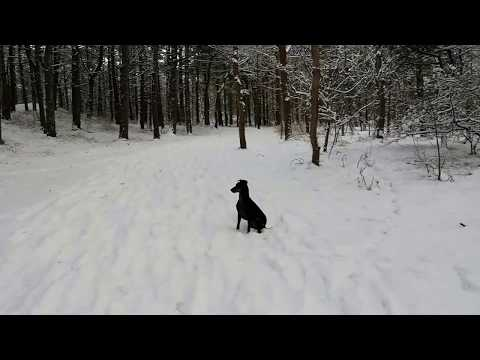 Chester the Manchester terrier having snow fun