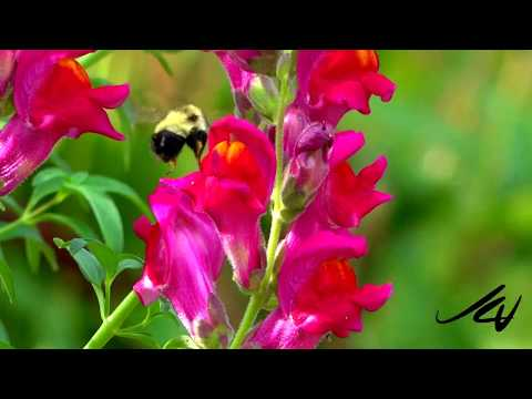 Strange Relationship of Bumblebee and dragon flowers - snapdragons, and then the spider