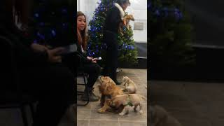 Cocker spaniel babies at the insurance office