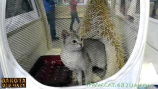 Сингапурская кошка, выставка кошек и котов в Харькове, 6 декабря, 2015 года, Радмир Экспохол, WCF, ч