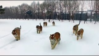WATCH: Siberian Tigers Hunt A Drone