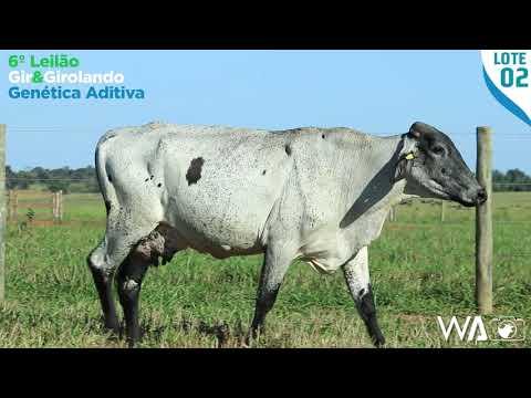 LOTE 02 - 4372 AV - 6º Leilão Gir & Girolando Genética Aditiva