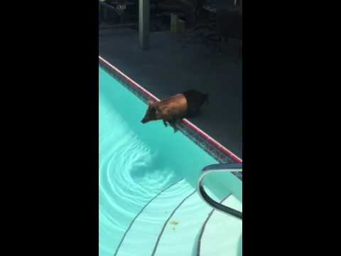 Swimming pigs - florida's terrifying wild boar