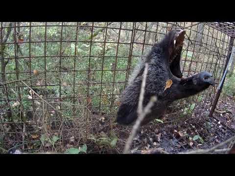Белорус поймал кабана в петлю и убил самодельной пикой И получил «уголовку»