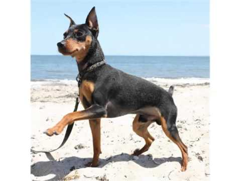 Miniature Pinscher Dog Breed Dog Type Miniature Pinscher Breed Set