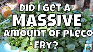 MASSIVE Pleco Pond Update!