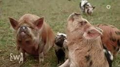 Schweine sind schlau ARD W wie Wissen