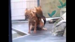 Repeat youtube video Foxes Mating Breeding