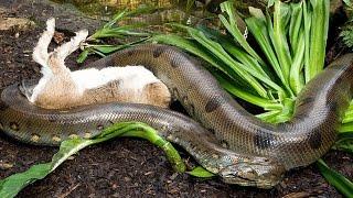 собака VS змея ядовитая -питон