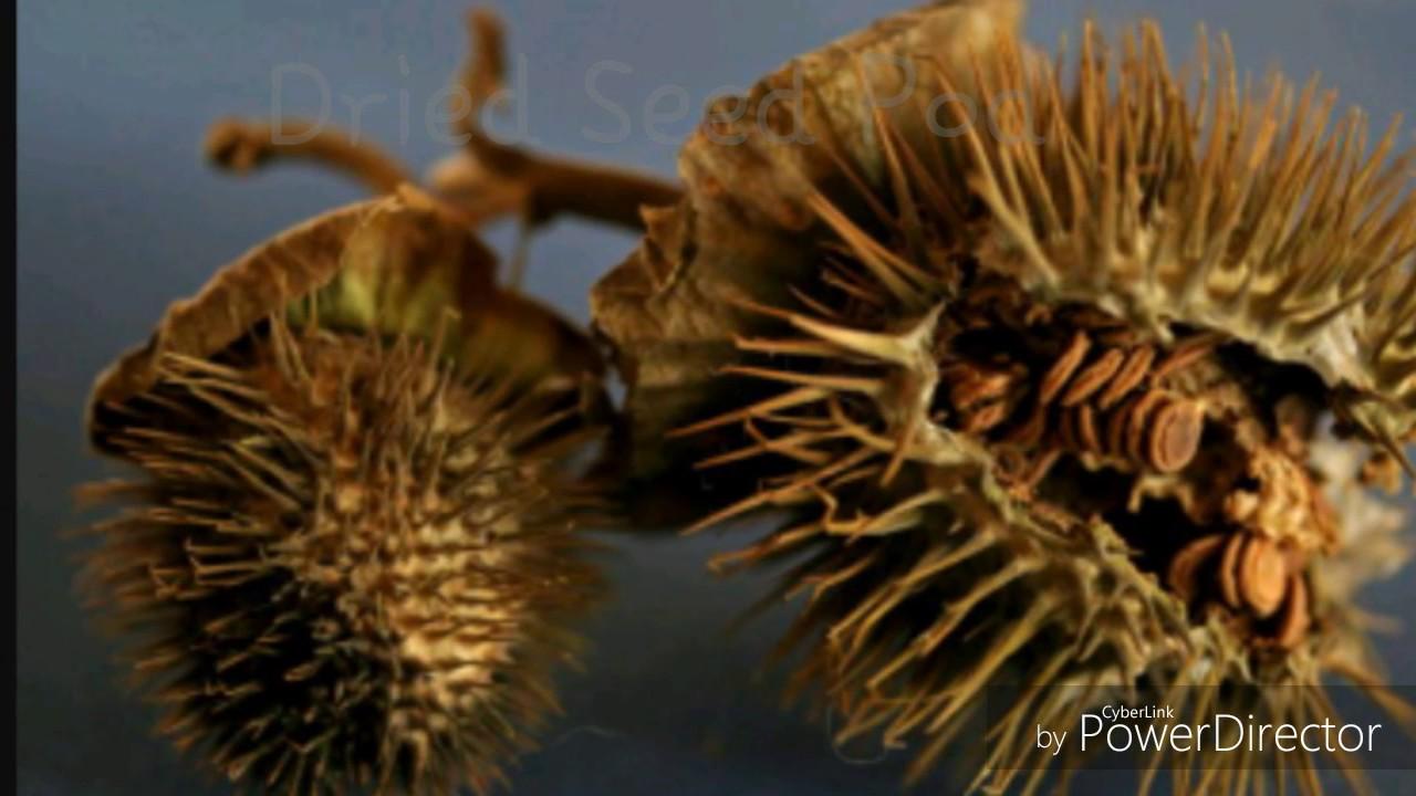 Ipomoea Alba Moonflower Plant