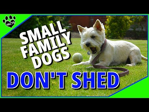 Small Family Dog Breeds That Don't Shed