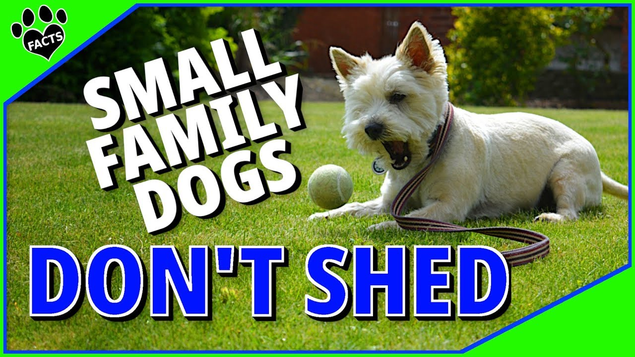 Small Family Dog Breeds That Don T Shed