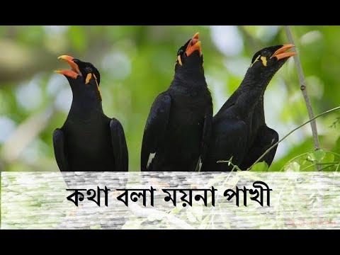 Amazing Talking Myna Bird//কথা বলা ময়না পাখী - YouTube - photo#22