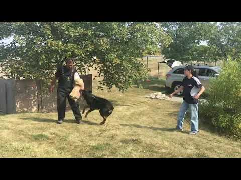 Protection Training with Harley south trinidad k-9 club South Trinidad K-9 Club 2020 Workshop 0
