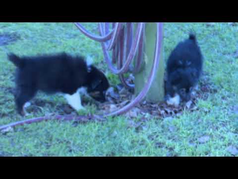 Allen Miller's Mini Australian Shepherd Puppies
