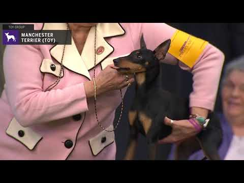Manchester Terriers (Toy) | WKC | Breed Judging 2020