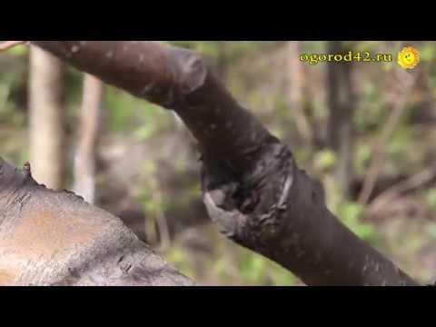 Сроки прививок косточковых