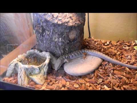 Alligator Lizard Breeding pt1