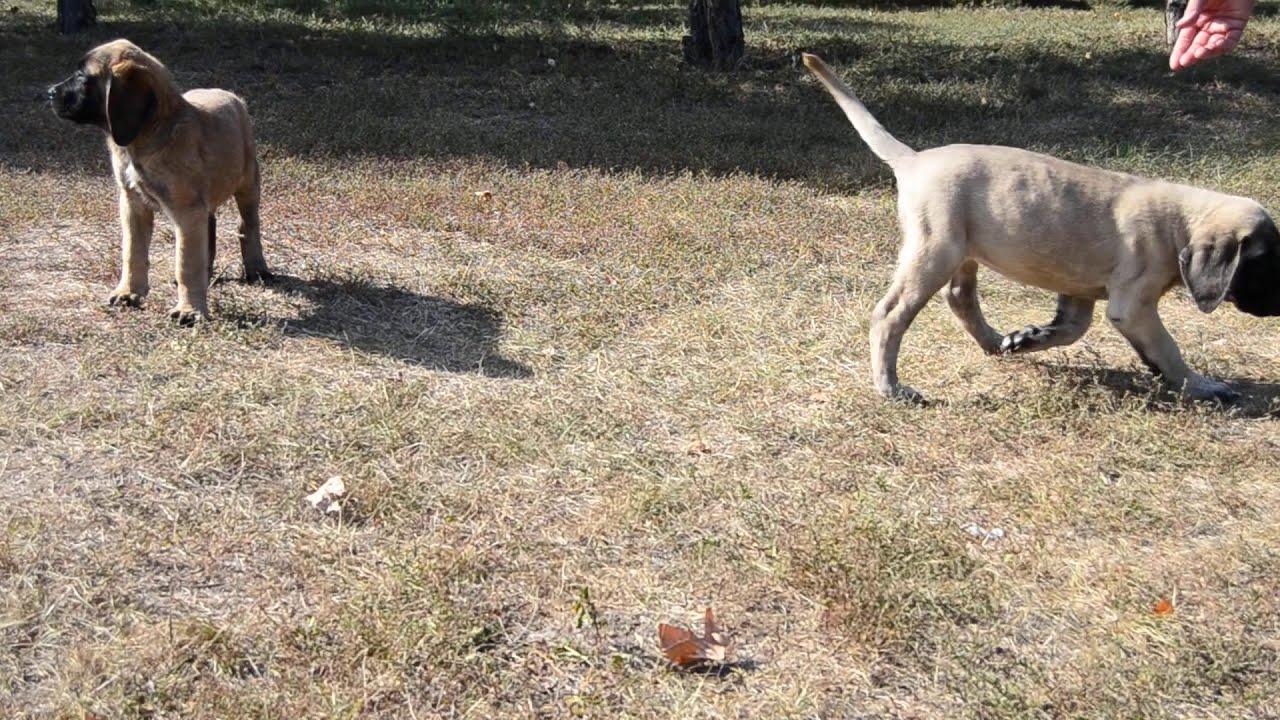 English Mastiff puppies 01