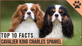 Cavalier King Charles Spaniel  Top 10 Facts