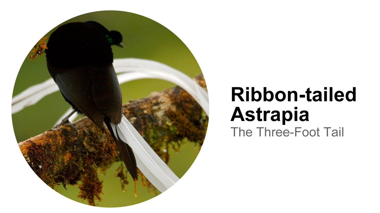 Birds-of-Paradise Project: Ribbon-tailed Astrapia