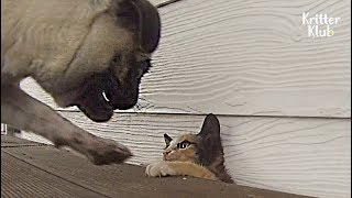 Dog Stalks And Chases After A Cat Like There's No Tomorrow   Kritter Klub