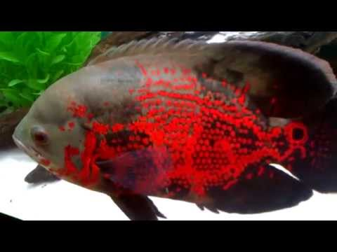 Tiger Oscar Green Terror Paroon Shark Blood Red Parrot