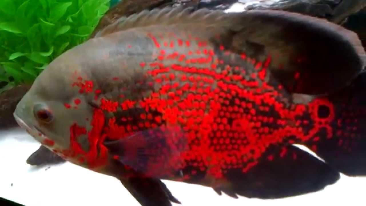 Green Oscar Fish | Free Here