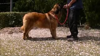 大型犬レオンベルガーの情報はこちらから http://www.masaki-collection...