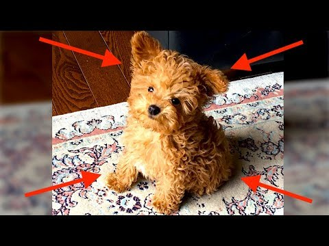 SMALLEST POODLE EVER?! (WE GOT THE CUTEST PUPPY)