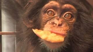 Download Video チンパンジー 双子の赤ちゃん122  Chimpanzee twin baby MP3 3GP MP4