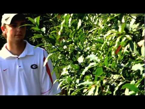 *Plant Wildlife Tree* +Sawtooth Oak+Quercus acutissima+Grow Fast+