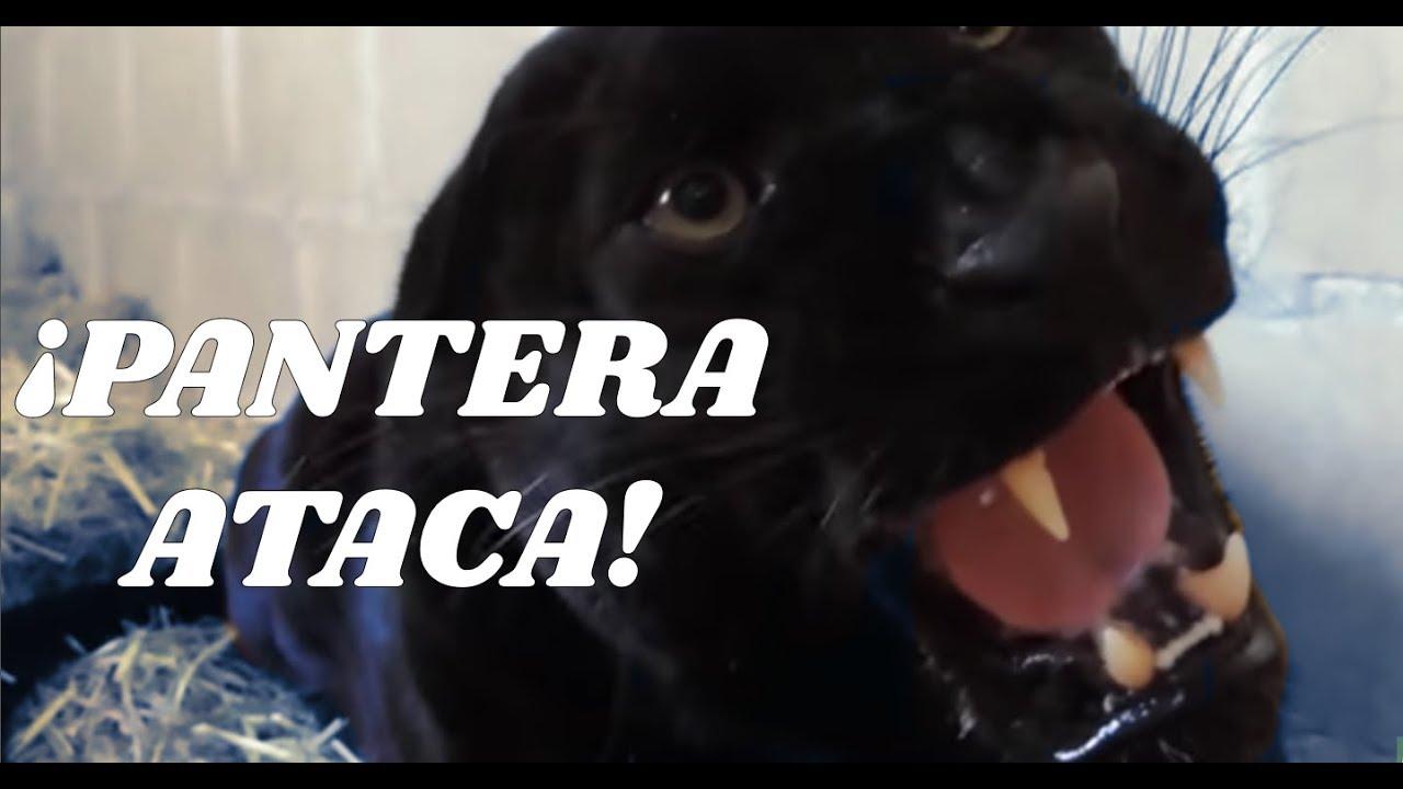 La Pantera Negra: PANTERA: ¡Pantera Negra Ataca!