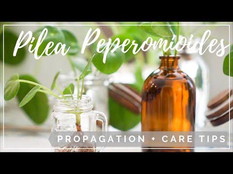 Pilea Peperomioides Propagation + Care Tips