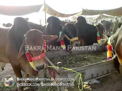 "Bakra Mandi Lahore 2013 ""Cow Mandi 2013"" Price 220000"