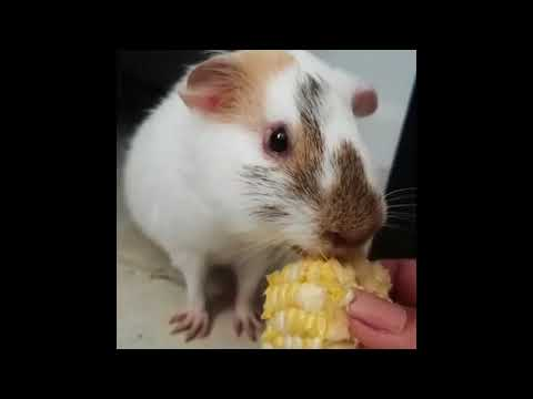 Funny And Cute Guinea Pig Videos - Compilation 2018