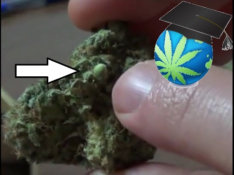 Why There Are Seeds In Your Bud