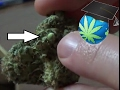 WHY There Are Seeds In Your Bud & Can You GERMINATE THEM?