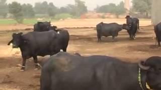 Dera Gujjaran Da Chak 208 Dogaranwala Faisalabad Makhan Gujjar 2