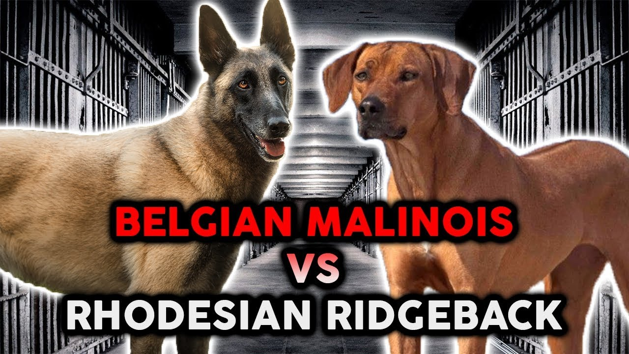 Belgian Malinois Vs Rhodesian Ridgeback The Best Guard Dog Breed