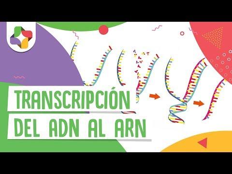 Transcripción Del Adn Al Arn Educatina Youtube