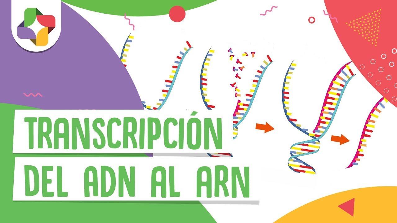 Transcripción Del Adn Al Arn Educatina