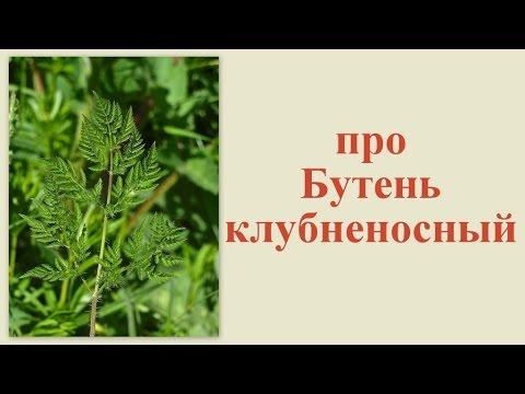 Про бутень клубненосный 4 июня 2013