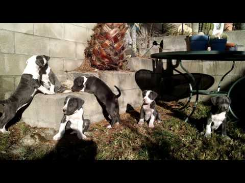 American Pitbull Terrier Puppipes (FOR SALE!!!) PR UKC Dec. 2016