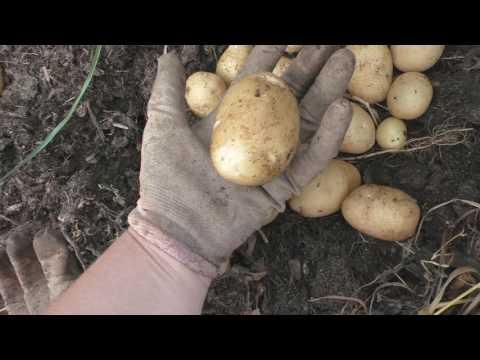 Молодая картошка. Сорт Удача