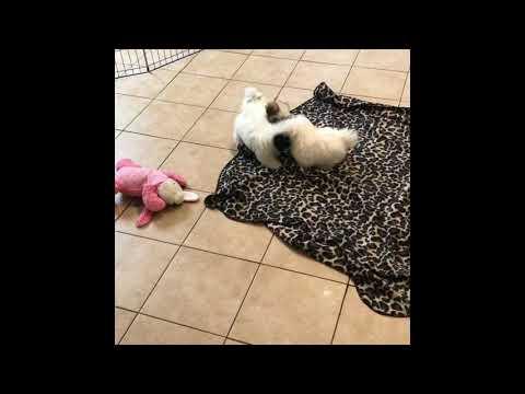 Royal Flush Havanese Female Puppies for Sale!
