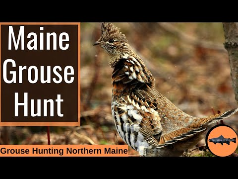 Hunting The Remote Maine Woods For Ruffed Grouse – With Over Night Truck Camping